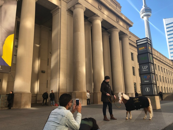 Mini-horse posing in front of the CN Tower