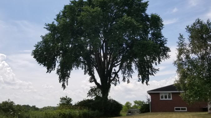 Image is of a large elm tree, beside a house.