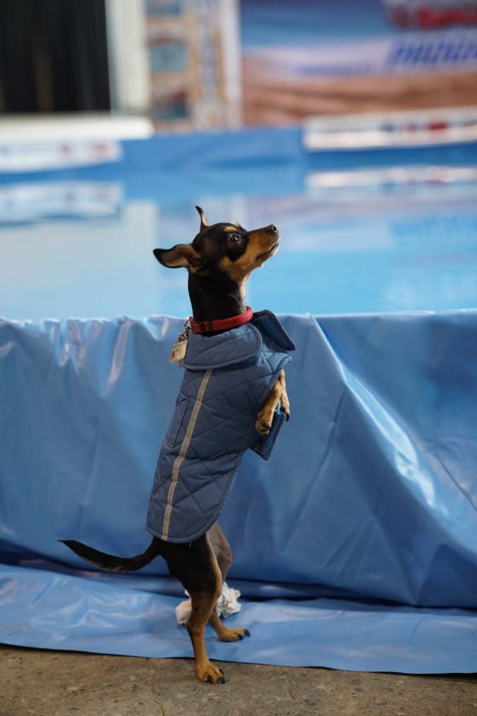 A dog stands on its hind legs beside a pool.